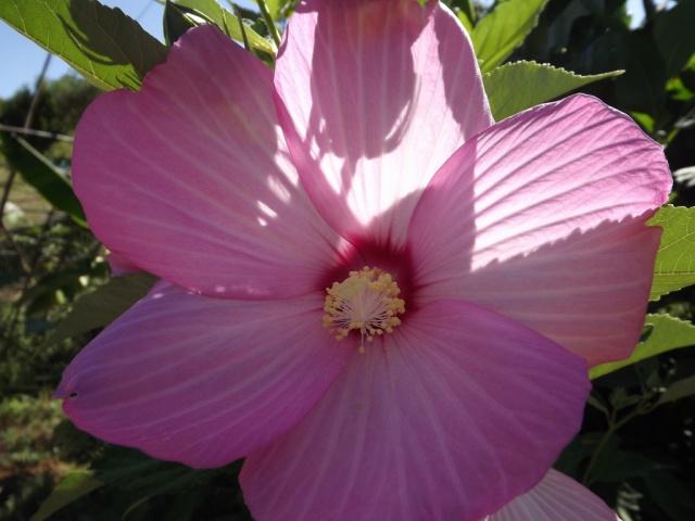 Hibiscus des marais rustiques - sujet général - Page 2 257562DSCF39101024x7682