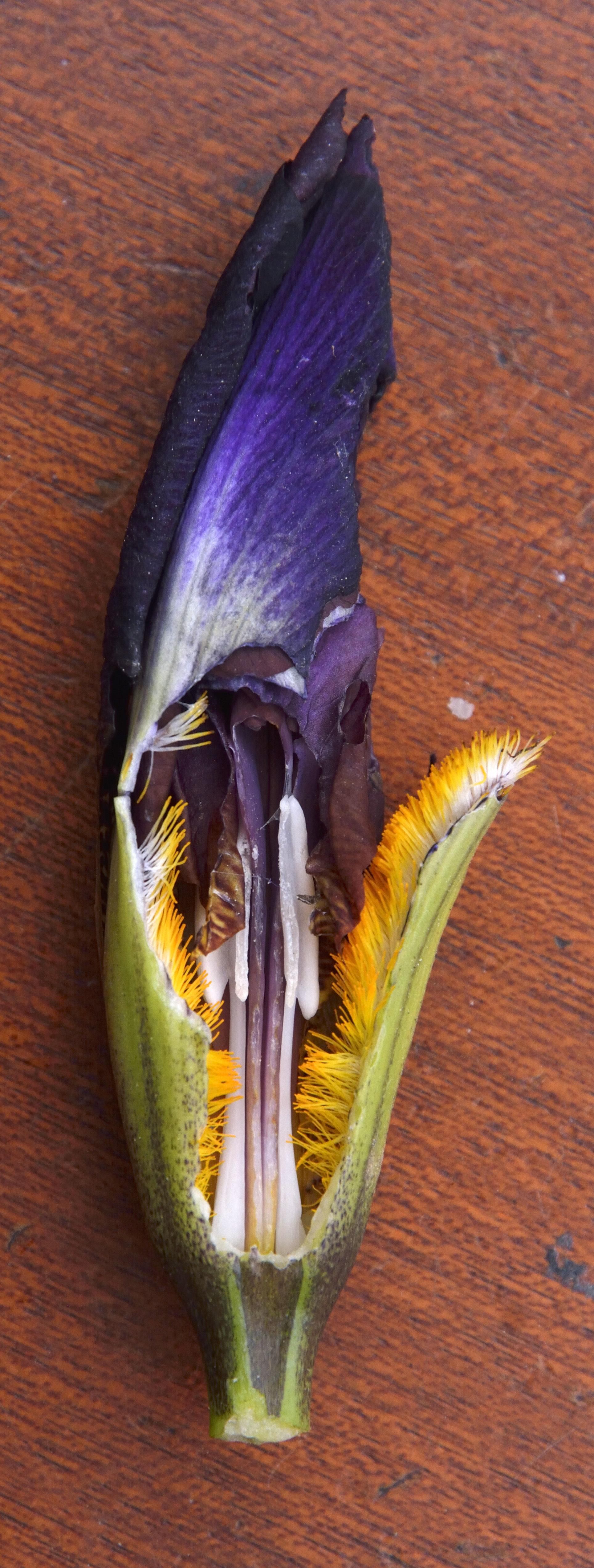 Floraisons 2016 de nos grands iris barbus et Bilan - Page 2 259392DSC2174