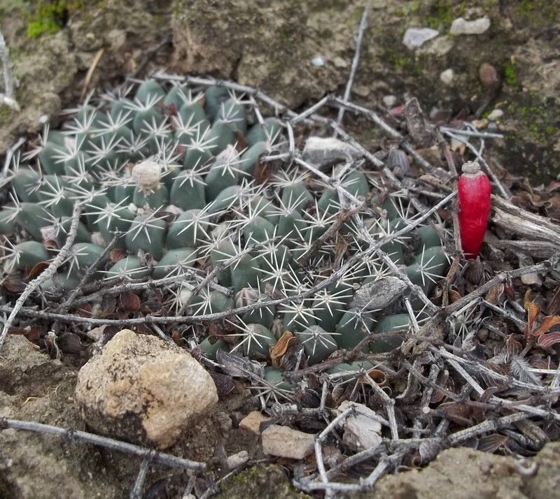 Unidentified Mammillaria from San Luis Potosi, Mexico 2597561000431