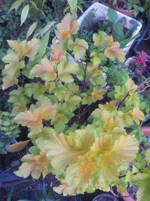 physocarpus amber jubilee 26329820150420190716