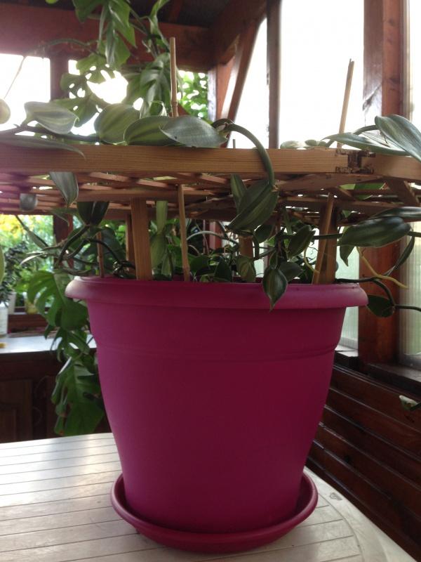 Culture et Entretien de la Vanilla Planifolia - Page 3 265853IMG5770