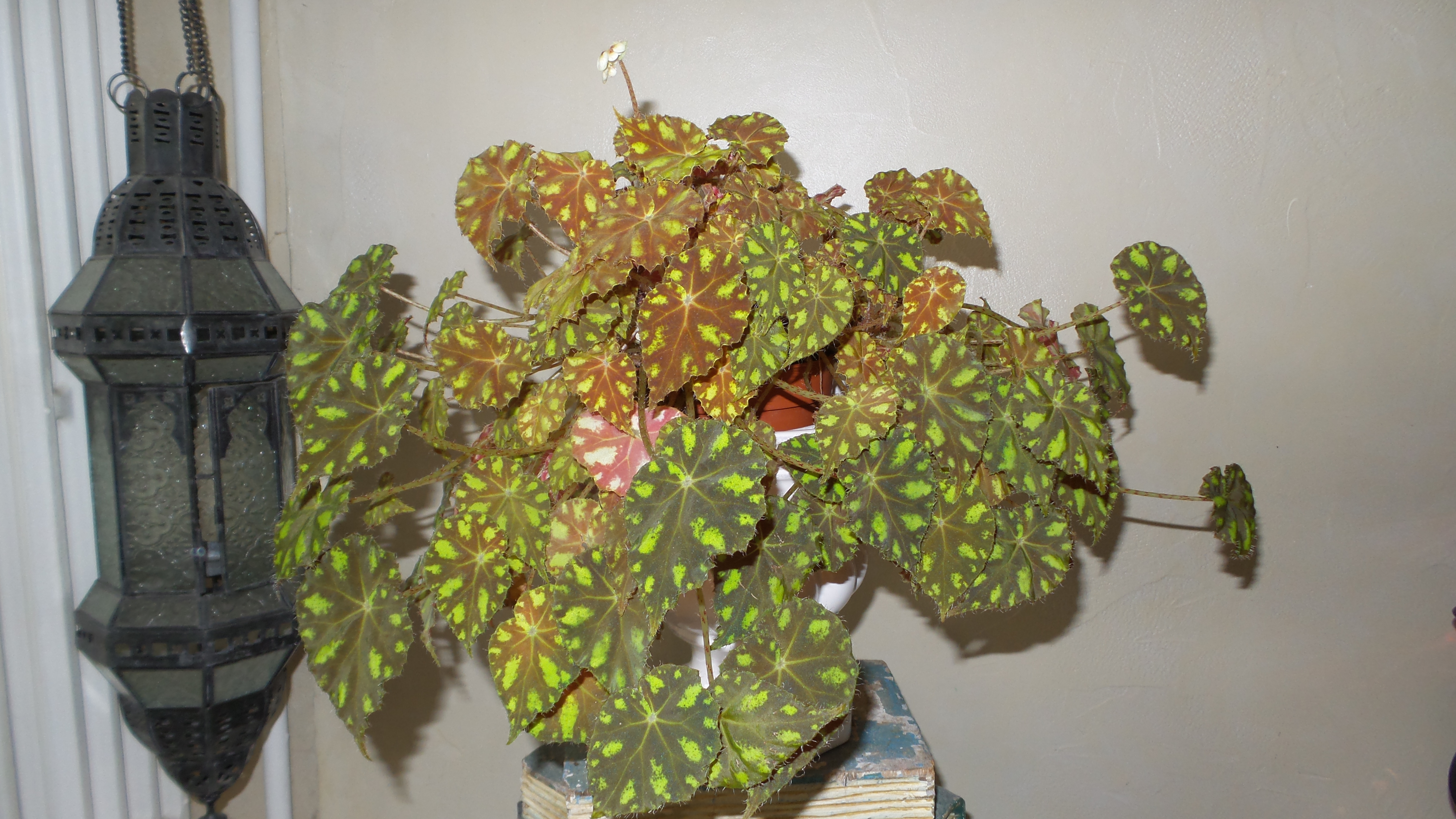begonia bowerii tiger  - Page 3 26808020170205103946
