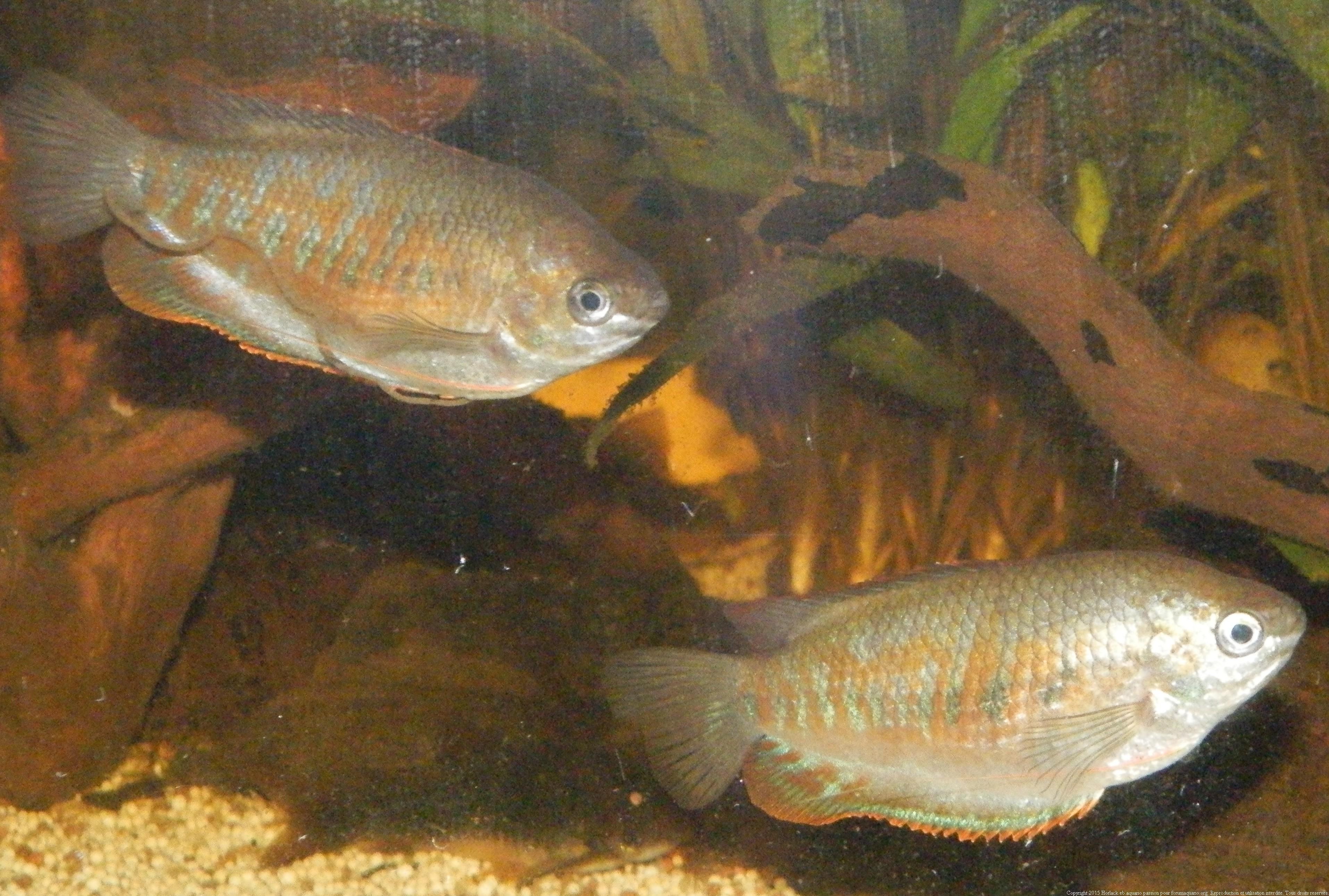 [Article] Mesurer un poisson 270585GouramiFasciata0022