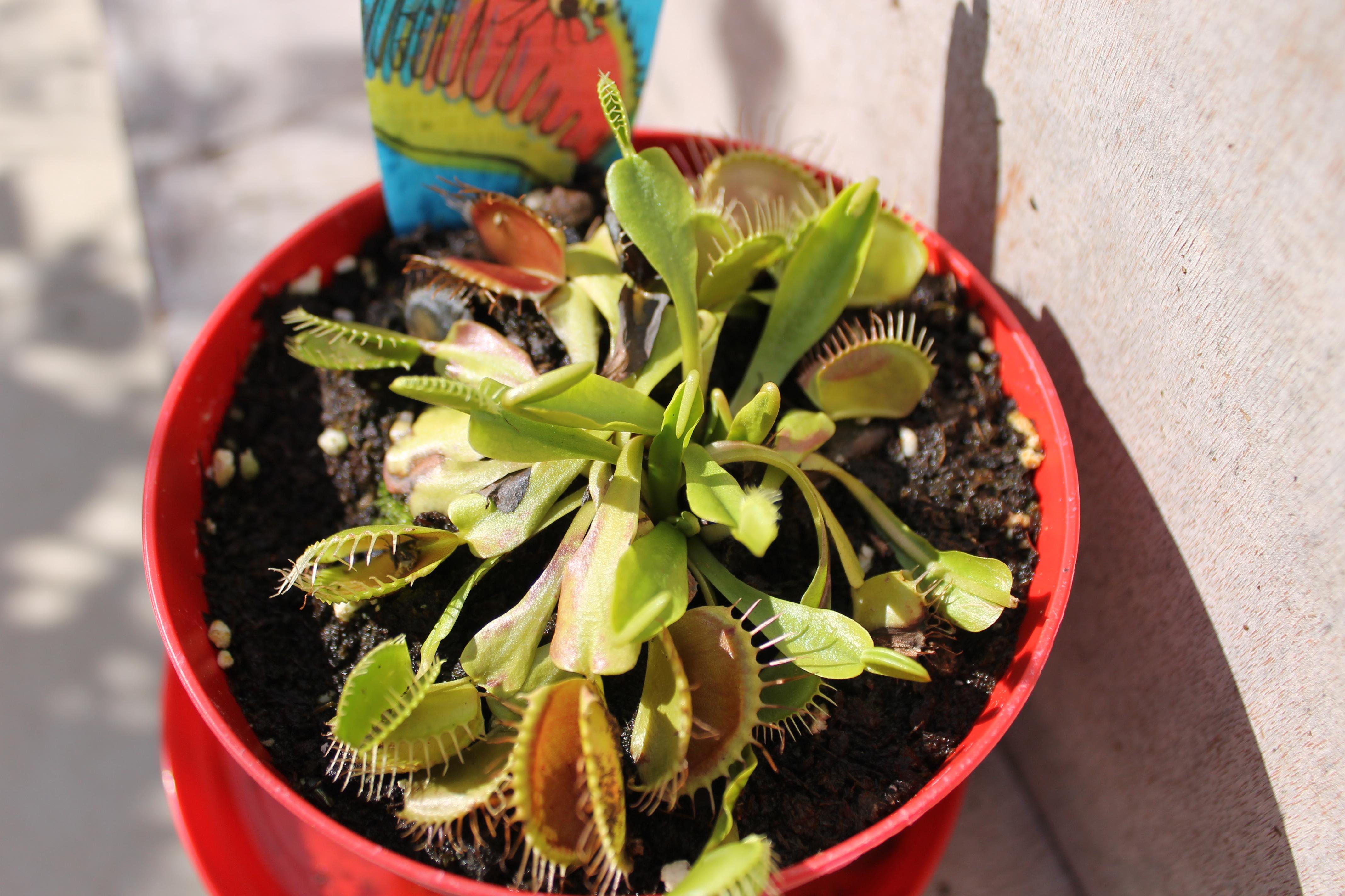 Dionaea Muscipula (Plante carnivore) - Page 2 27663823aout201516