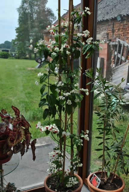 Mon clerodendrum en fleurs  - Page 2 276657DSC0699