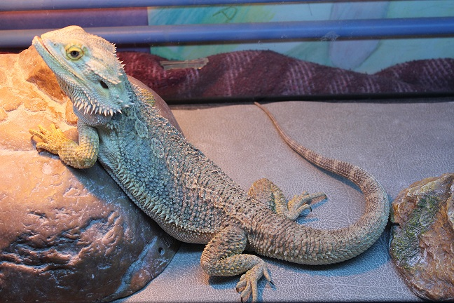 Besoin d'aide pour Bahamut (pogona) - Page 4 276938IMG2408