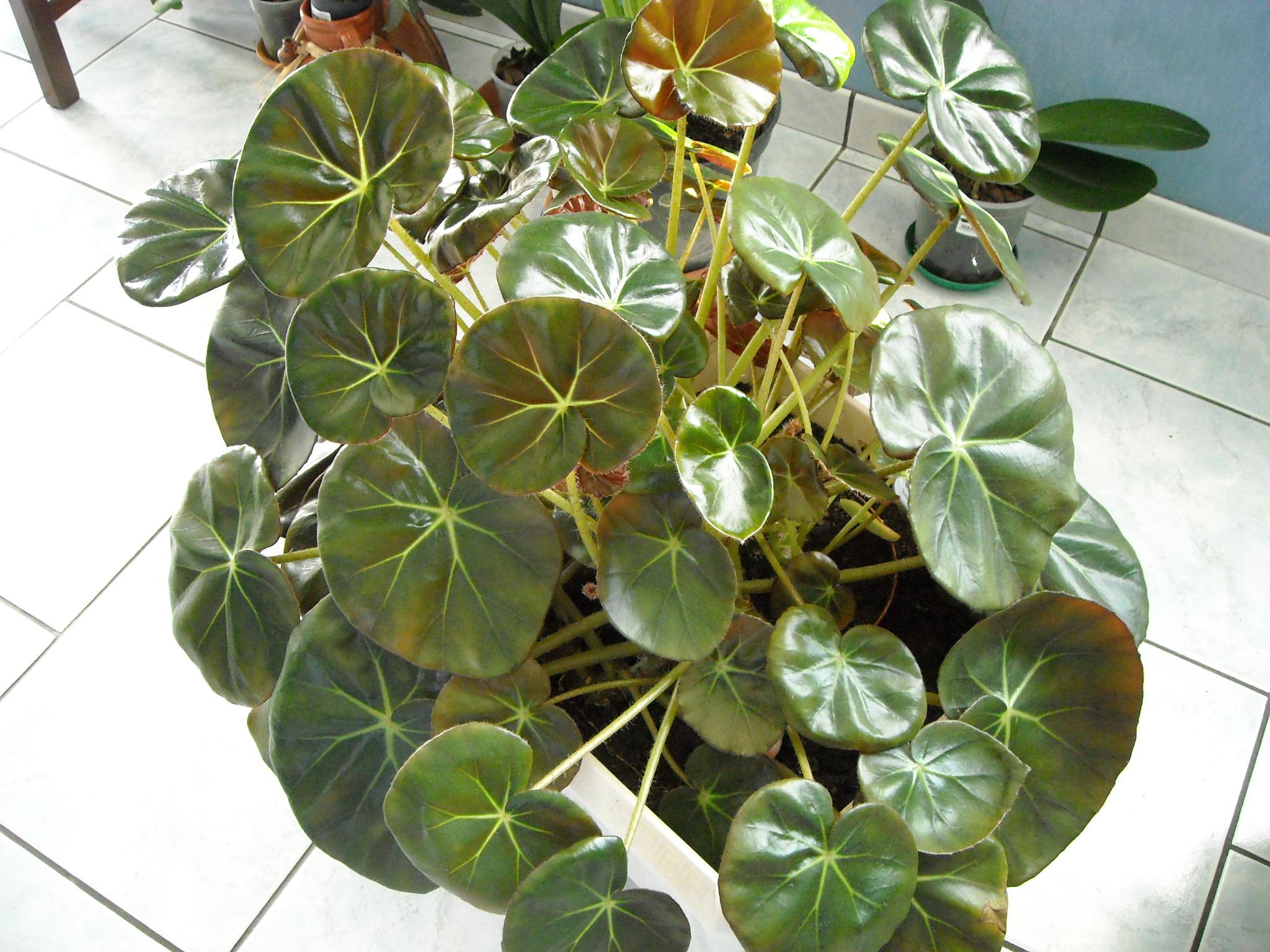 ????? [Begonia 'Erythrophylla'] 278829mesbgonia010