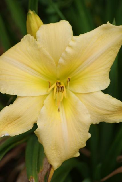 Hemerocallis - des variétés - Page 5 279350005