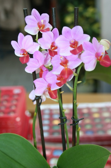 doritaenopsis jia ho cerise x lobbii 284298IMG9664