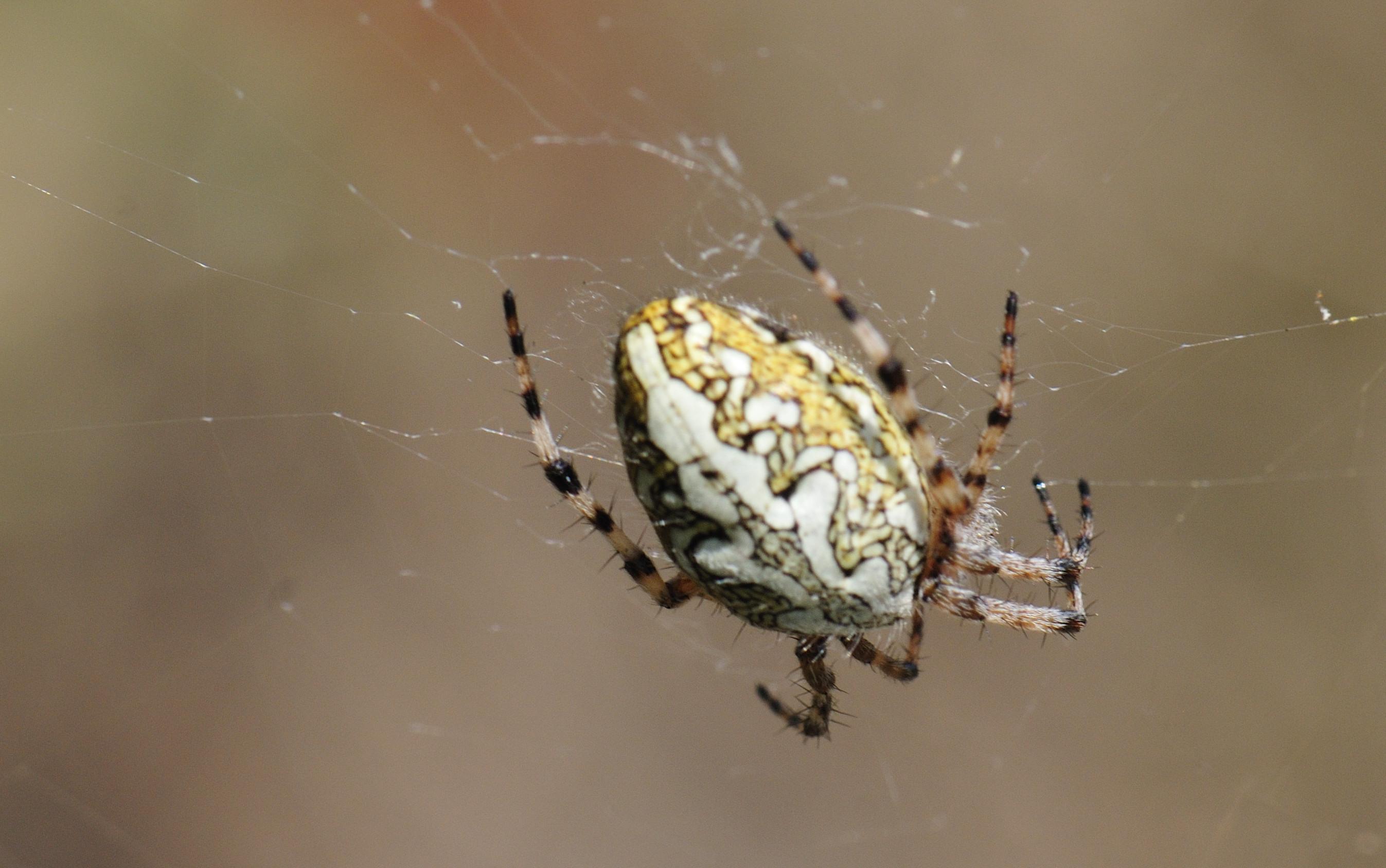 (FIL OUVERT à tous) vous aimez les araignées? 292535INSECTE5