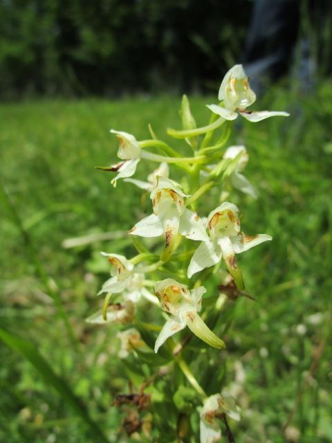 Quelques orchidées sauvages 295609IMG1890