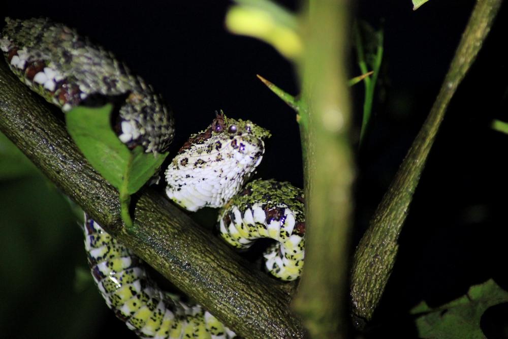 15 jours dans la jungle du Costa Rica - Page 2 296259schlegelii2r