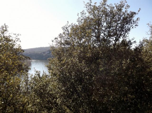Quercus ilex - chêne vert 296275DSCF50921024x765
