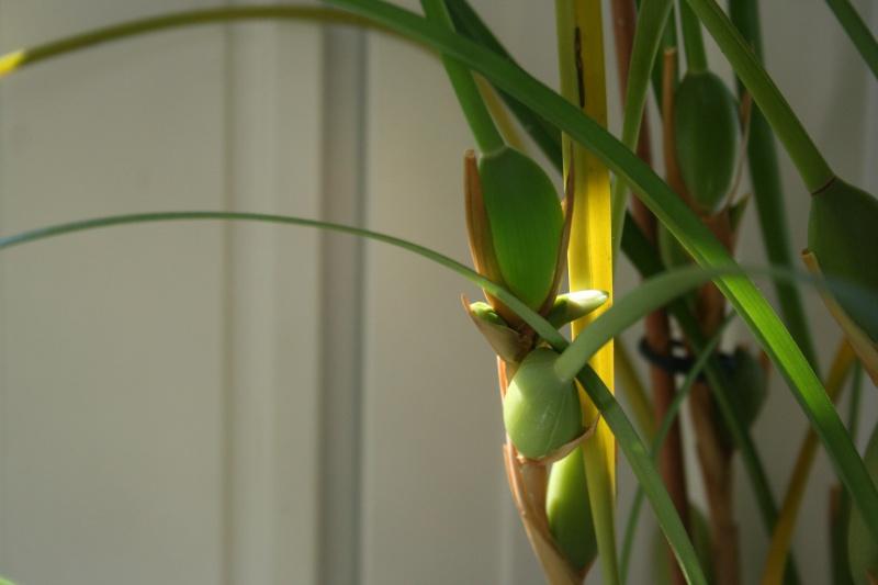 maxillaria tenuifolia  - Page 3 296318IMG9078