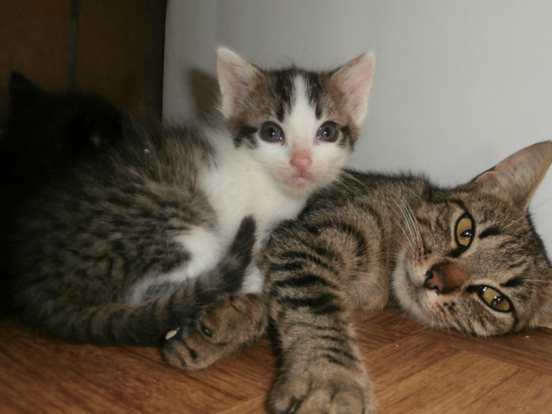 TEEBOO (chaton mâle tigré et blanc) 299323P9131688
