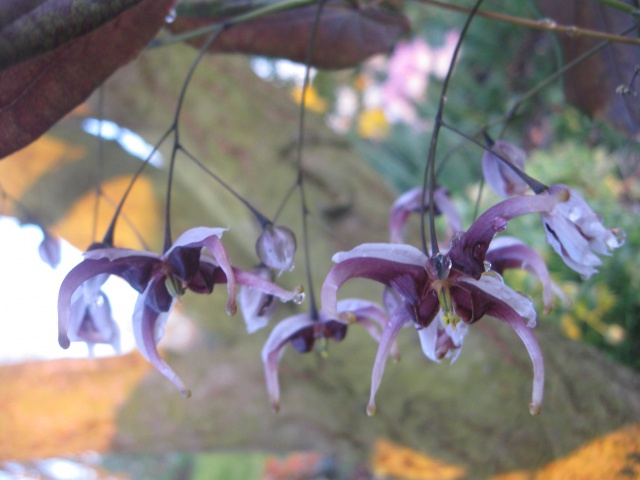 Epimedium - fleur des elfes  - Page 2 305266IMG3904