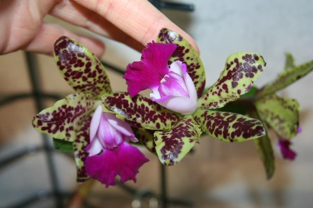 cattleya green emerald 'orchid queen' AM AOS 305520IMG9633