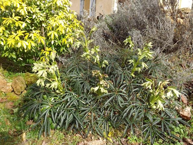 Helleborus foetidus - ellébore fétide 312786DSCF2760