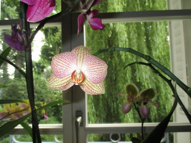 Phalaenopsis hybride 313349IMG7494