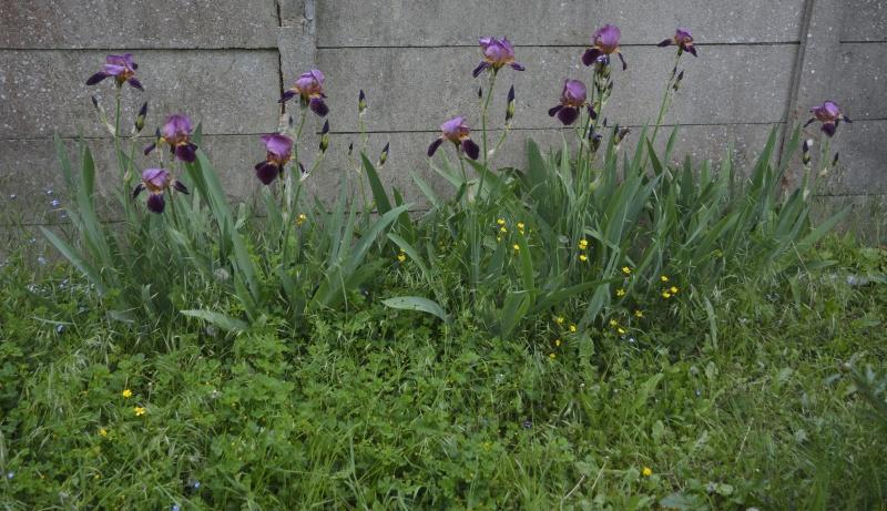 Floraisons 2016 de nos grands iris barbus et Bilan - Page 4 313449DSC2242