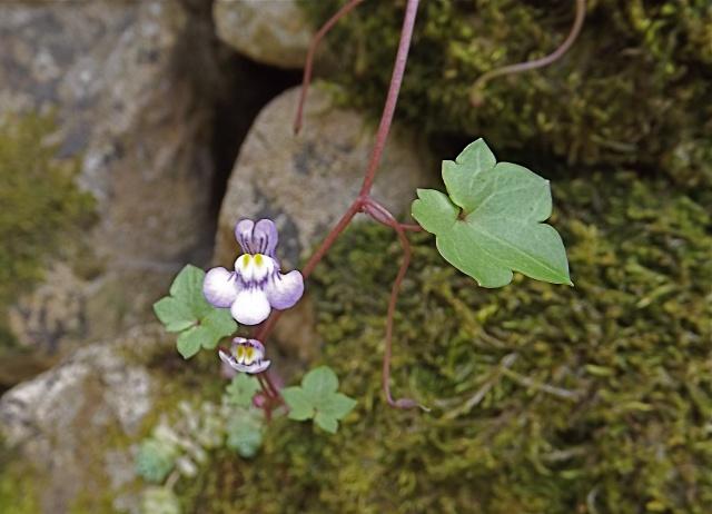 flore des vieux murs, rochers  et rocailles naturelles 314651DSCF0946