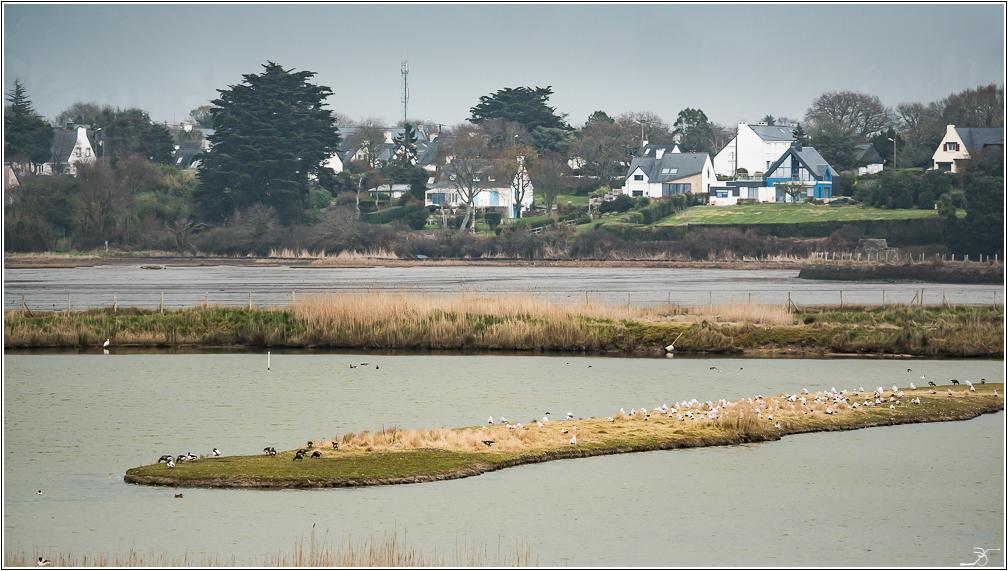 Morbihan, Le Duer, Aigrettes, Cygnes 318212LR6P1440575