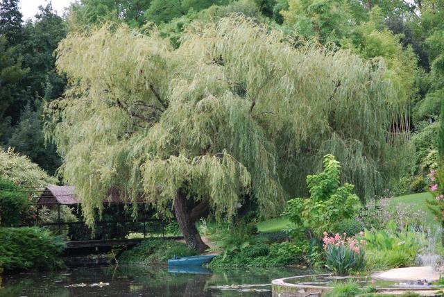 (47) Latour-Marliac, jardin de nénuphars - Le Temple-sur-Lot 322501DSC4962