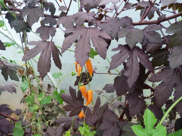 Hibiscus acetosella  324737P1050411