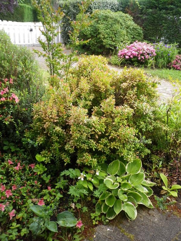 Pieris japonica 'Little Heath Green' 328765IMGP2728