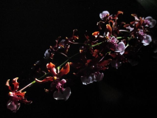 Oncidium Sharry Baby 'Sweet Fragrance' 330644IMG8924