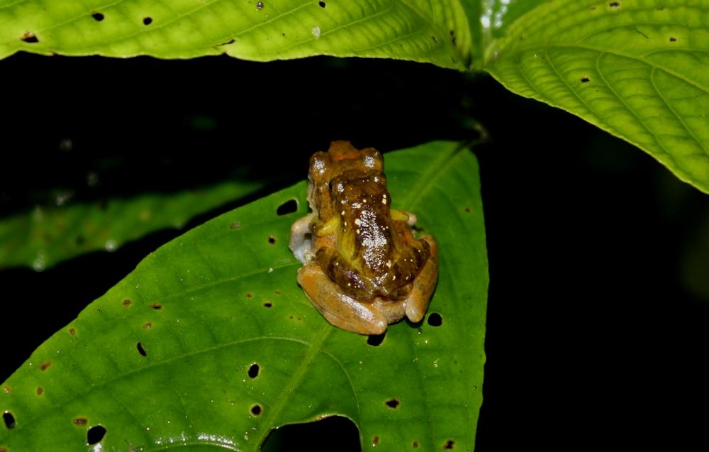 15 jours dans la jungle du Costa Rica - Page 2 330674amplexus1r