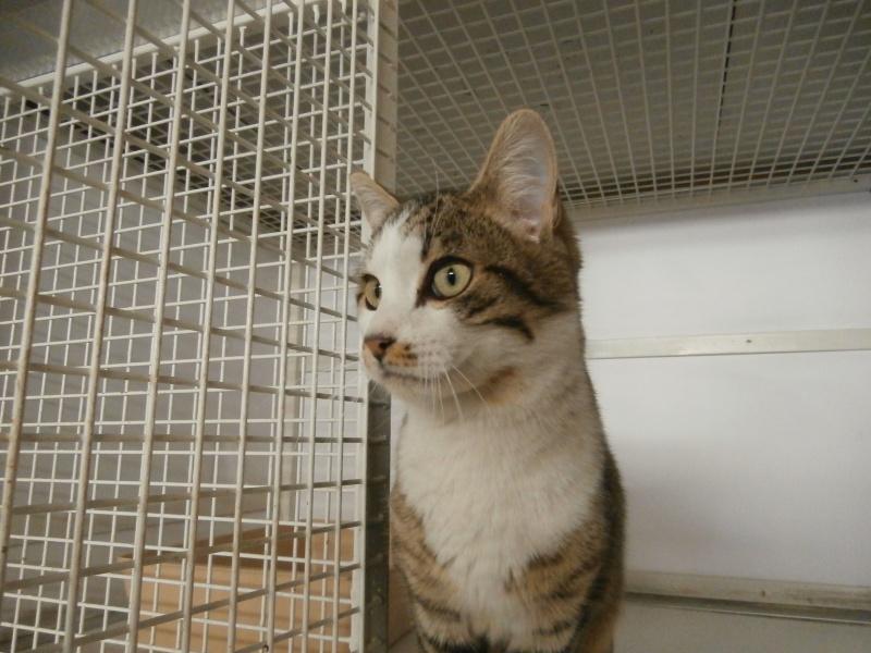 VAGABOND (mâle européen tigré et blanc) 330703P4186067