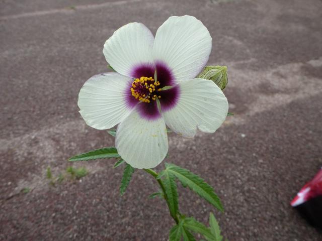 Hibiscus cannabinus - kénaf 333420hibiscuscannabinusouknaf45