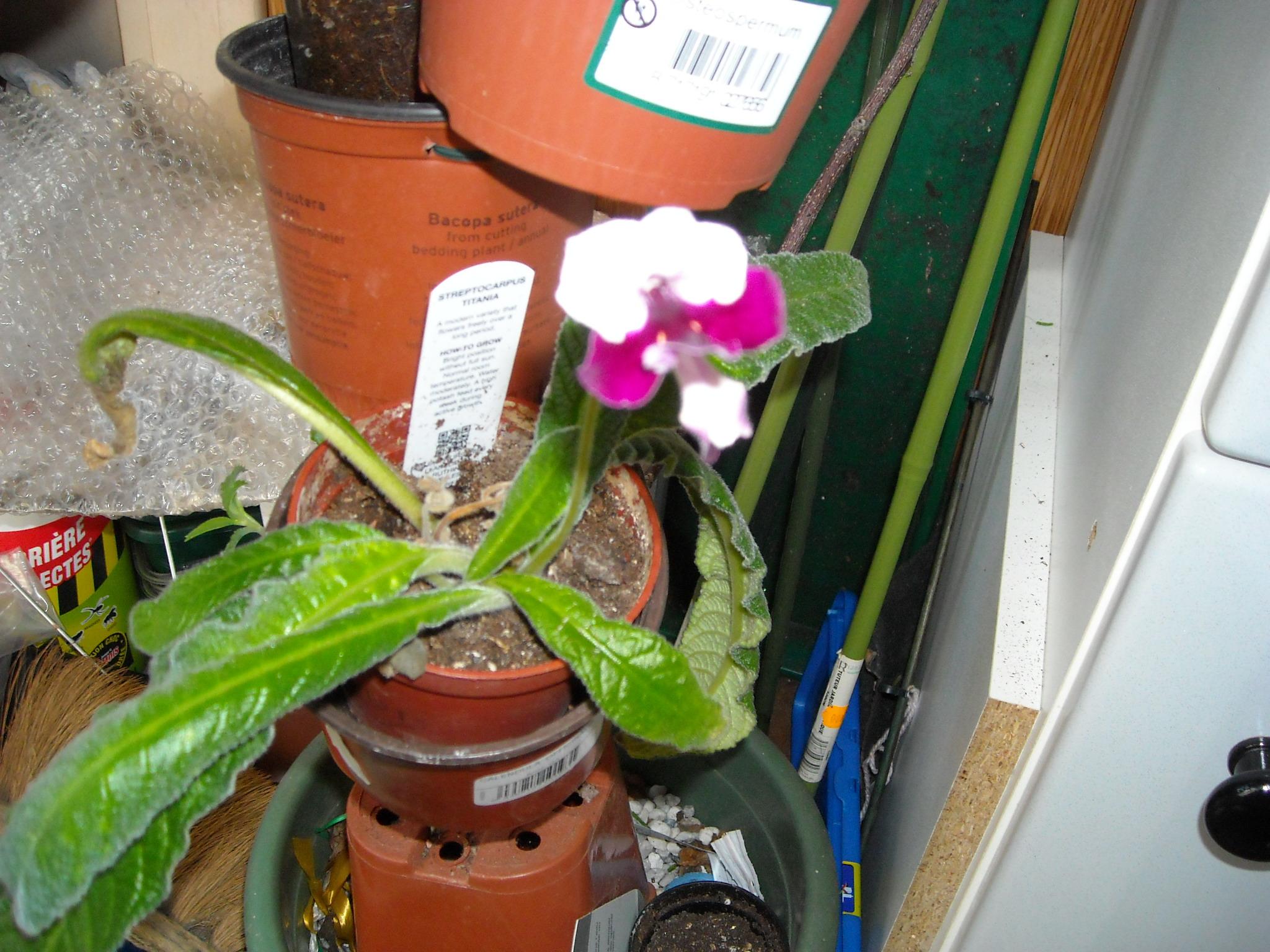 streptocarpus en fleur 335574DSCN7188
