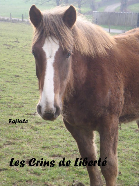 Dept19, 1 an, FAFIOLE, OC Trait Breton, réservée par Aline03 (Novembre 2016) - Page 2 335777Faf3