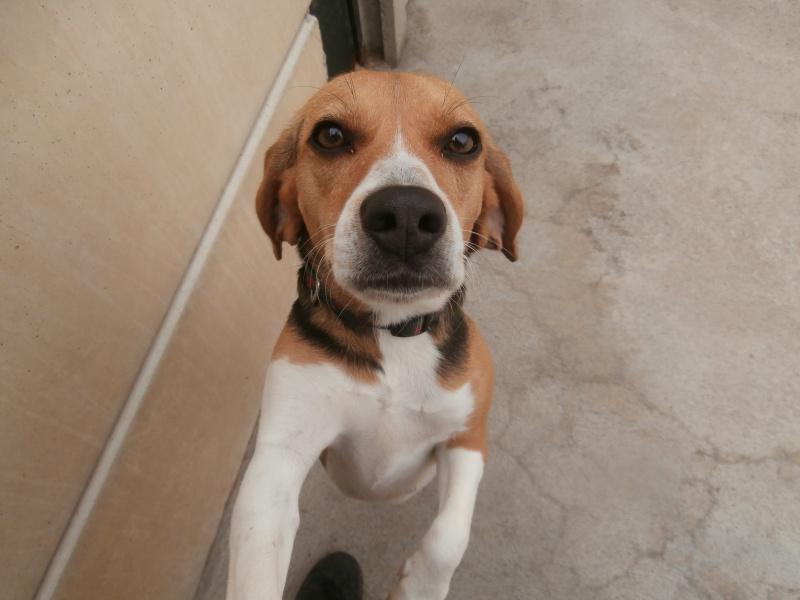 LOTUS (femelle beagle) 337009P7024167