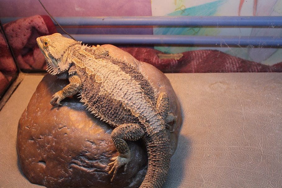 Besoin d'aide pour Bahamut (pogona) - Page 4 337399IMG3331