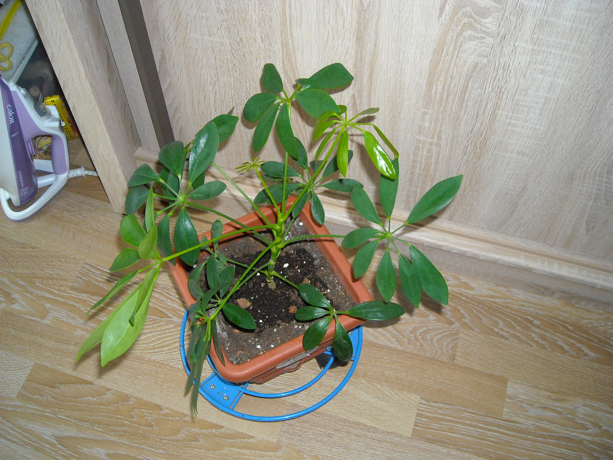 schlefflera arboricola 341115plantedefleur001