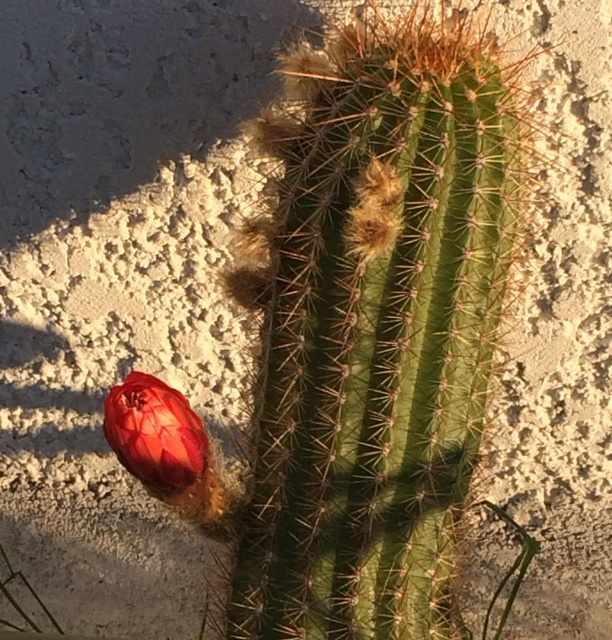 Trichocereus huascha 347539trichocereushuashua