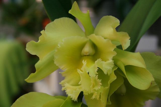 cattleya jaune vert a grosses fleurs  348371IMG9662