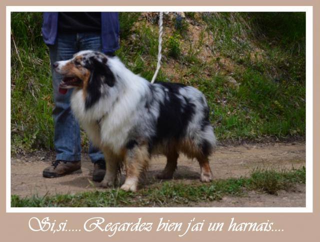Vos chiens et leurs harnais! Photo  - Page 3 351019harnais