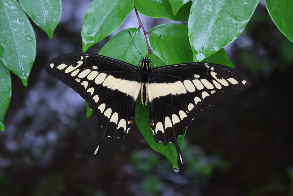 15 jours dans la jungle du Costa Rica 351294papillonr