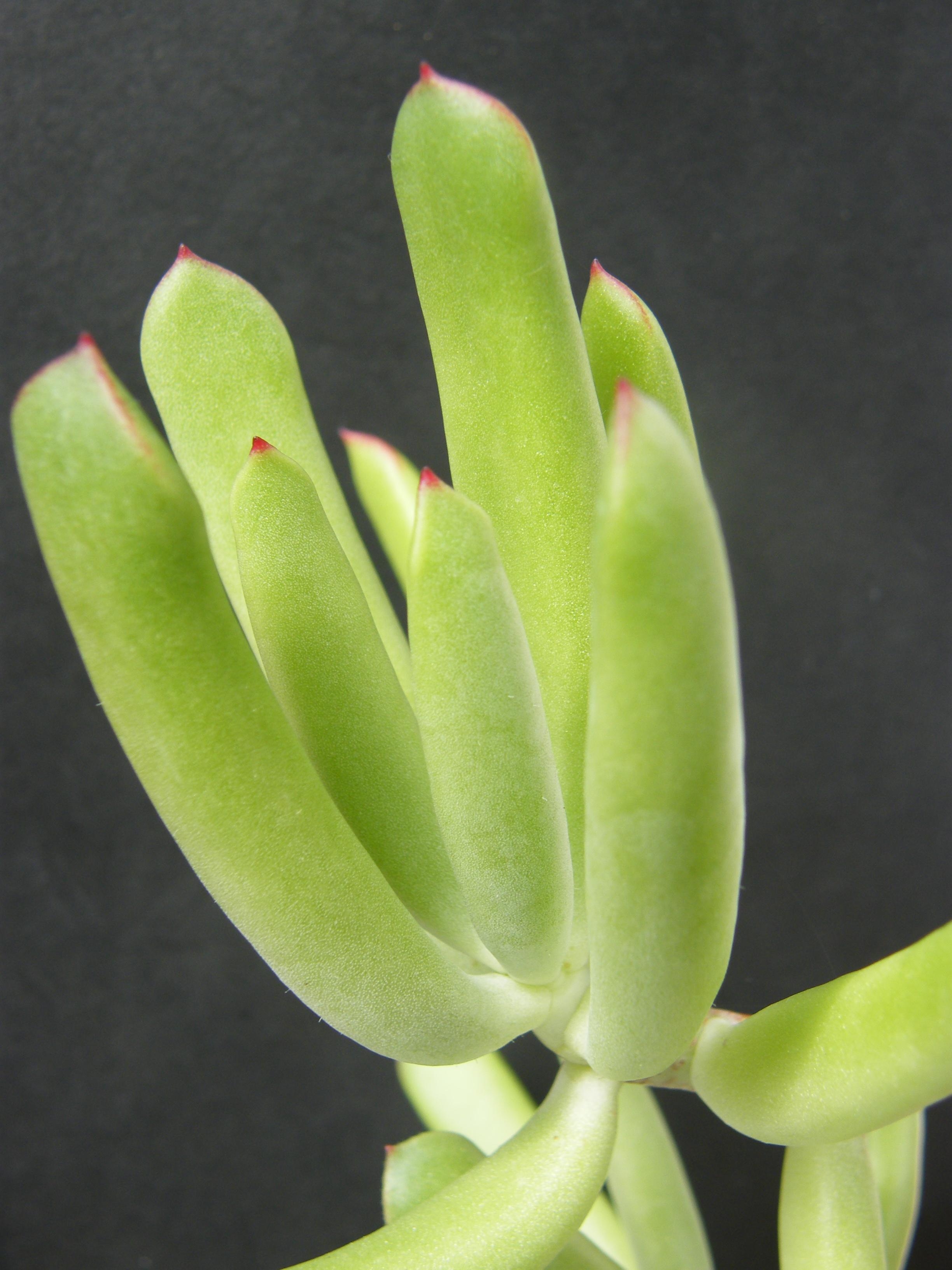 COTYLEDON orbiculata var.flanaganii 351413Juin2012142