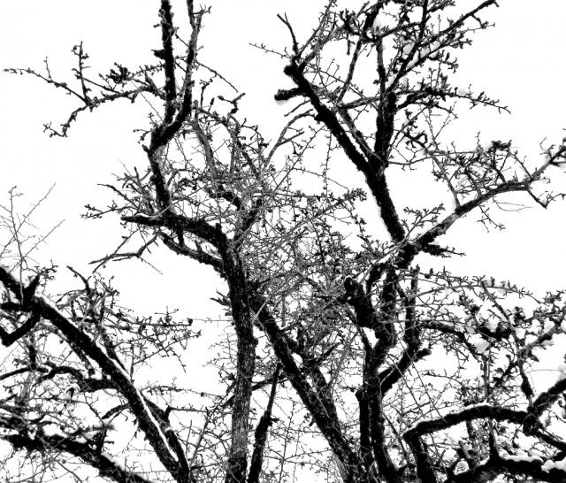 un arbre en hiver - résultats 351692aube769pine1