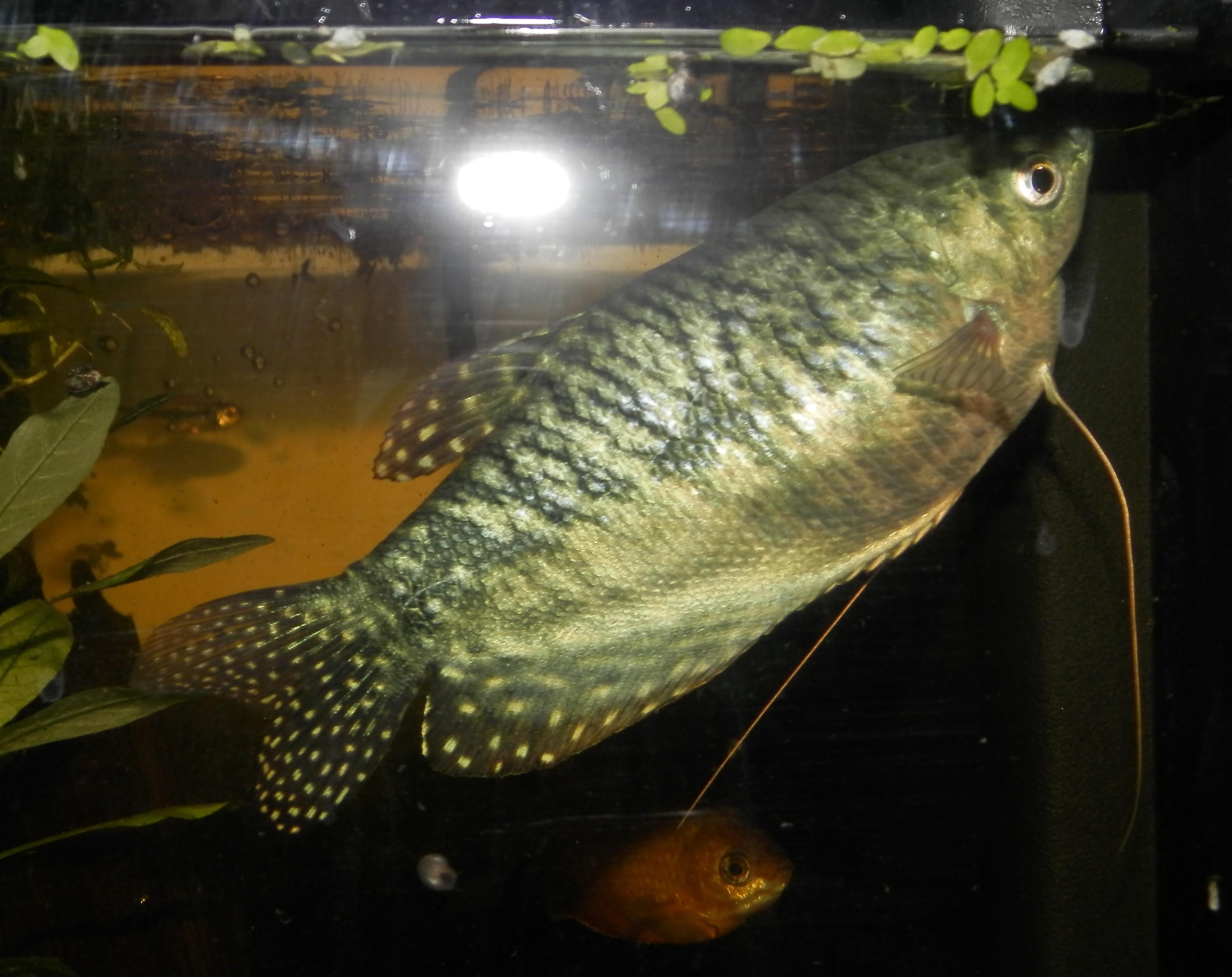Trichopterus (Gourami Bleu) - couple ? 358381007
