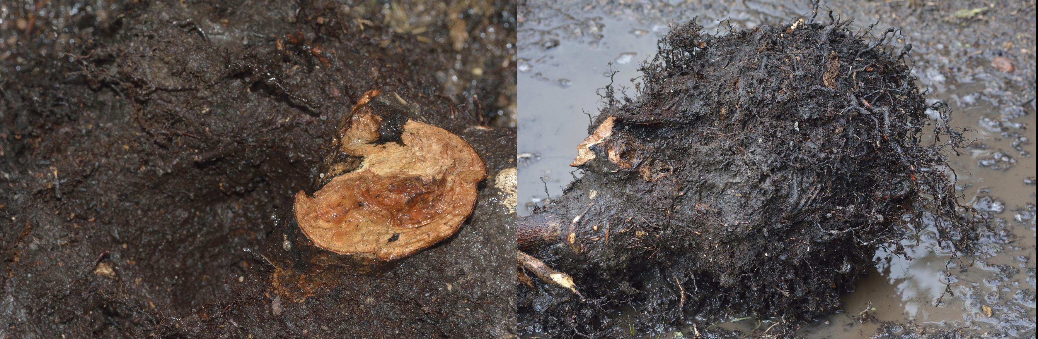 sauvetage d'un Rhododendron 363159DSC1900