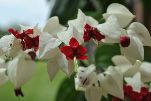 Mon clerodendrum en fleurs  - Page 2 367205DSC0713