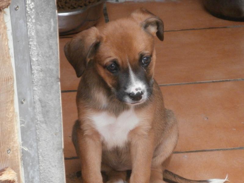 ANGELE (chiot femelle croisée boxer) 367582PA143461