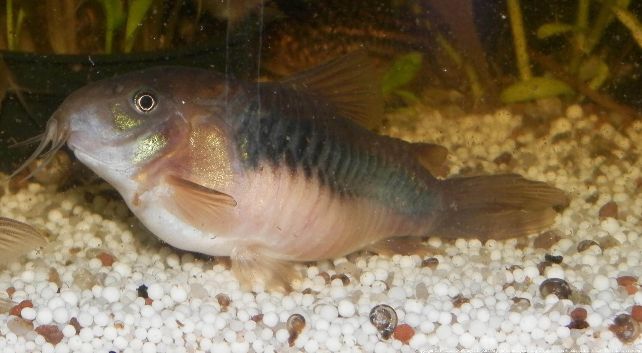 Reproduction Corydoras 369818CorydorasAeneus0011