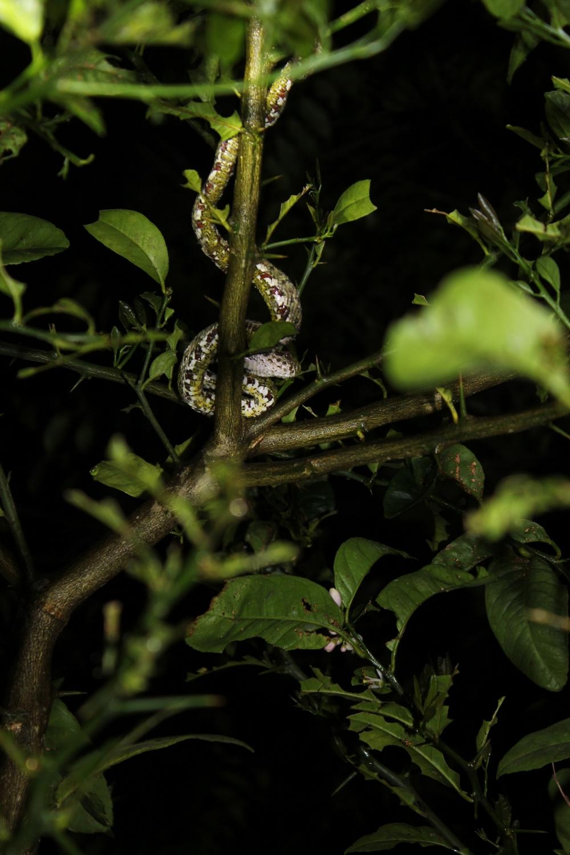 15 jours dans la jungle du Costa Rica - Page 2 370521schlegelii1r